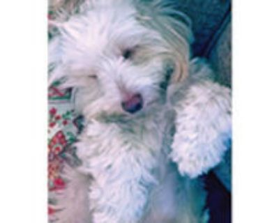 Lost, small, 10 pound mixed breed, male dog. Blond color