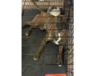 Adopt Ivar a Brindle American Staffordshire Terrier / Boxer / Mixed dog in