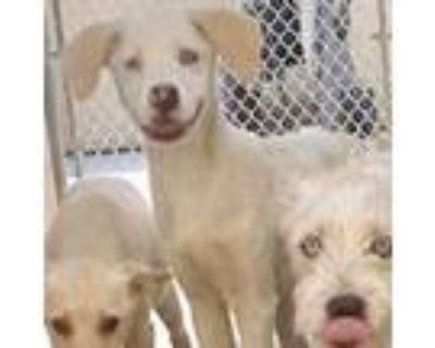 Adopt Bali Blooms a Tan/Yellow/Fawn Labrador Retriever / Mixed dog in Mission