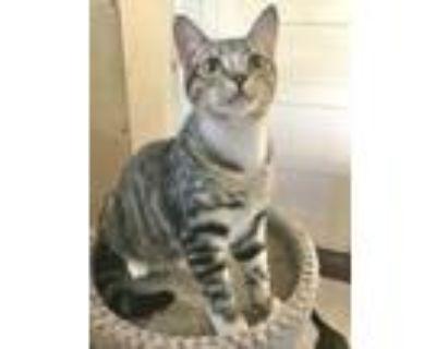 Adopt Bubbles a Brown Tabby Domestic Shorthair (short coat) cat in El cerrito