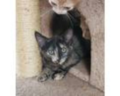 Adopt Mitzy a Tortoiseshell Domestic Shorthair (short coat) cat in Yucca Valley