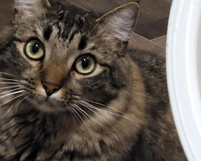 Abby - Domestic Medium Hair - Young Adult Female