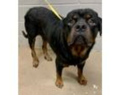 Adopt Rhino* a Black Rottweiler / Mixed dog in Anderson, SC (31959568)