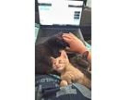 Adopt Chester a Orange or Red Tabby American Shorthair / Mixed (short coat) cat