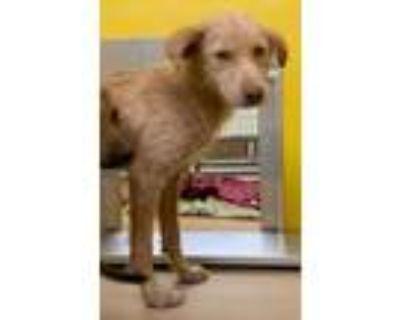 Adopt 20308 a Labrador Retriever