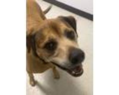 Adopt Penny Lane a Hound, Mixed Breed