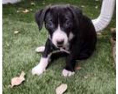 "Adopt Dash - ""ADOPTED"" a Black - with White Labrador Retriever / Boxer / Mixed"