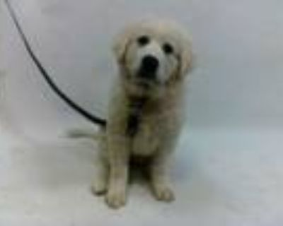 Adopt 21-07863 a Great Pyrenees