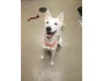 Adopt Mae a Siberian Husky / Mixed dog in Birdsboro, PA (31207822)