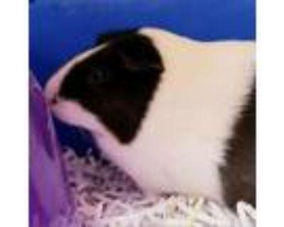 Adopt Luna a Guinea Pig