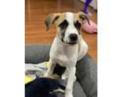 Adopt Daisytown a Brown/Chocolate - with White Shepherd (Unknown Type) dog in