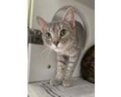 Adopt Nala a Gray, Blue or Silver Tabby Domestic Shorthair (short coat) cat in