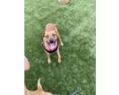 Adopt Lilibeth, playful and docile! a Black Mouth Cur, Boxer