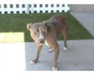 Adopt *MARS a Gray/Silver/Salt & Pepper - with White American Pit Bull Terrier /