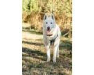 Adopt Axel a White Siberian Husky / Mixed dog in Alpharetta, GA (30228046)