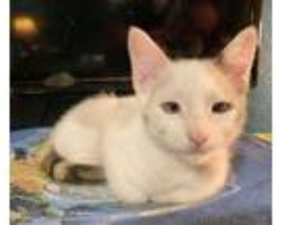 Pearl, Siamese For Adoption In Fort Worth, Texas