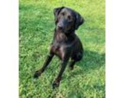 Adopt Bailey a Black Labrador Retriever