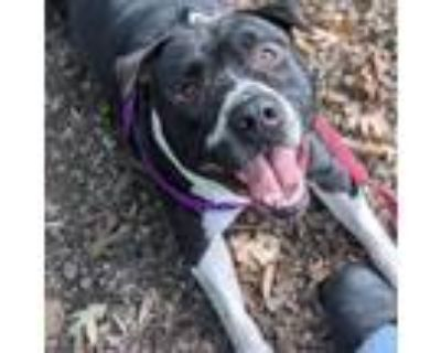 Adopt Gumball a Pit Bull Terrier