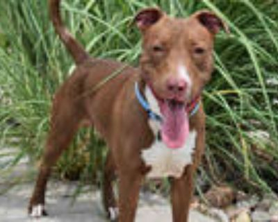 Adopt LINK a Brown/Chocolate - with White American Pit Bull Terrier / Mixed dog
