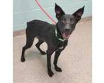 Adopt Patrick a Black Labrador Retriever / Mixed dog in Noblesville