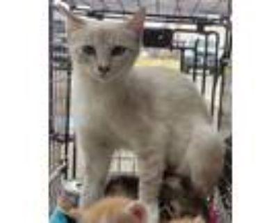 Adopt 47809867 a Domestic Short Hair