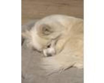 Adopt Noodles a Pomeranian