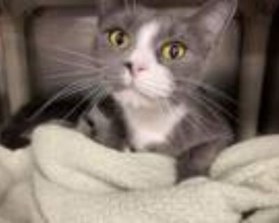 Fauna, Domestic Shorthair For Adoption In Lowell, Massachusetts