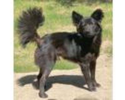 Adopt Aston a Schipperke / Border Collie / Mixed dog in Little Rock