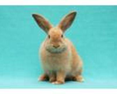 Adopt BABE a Bunny Rabbit