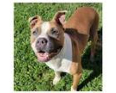 Adopt EASY a Brown/Chocolate - with White American Pit Bull Terrier / Mixed dog