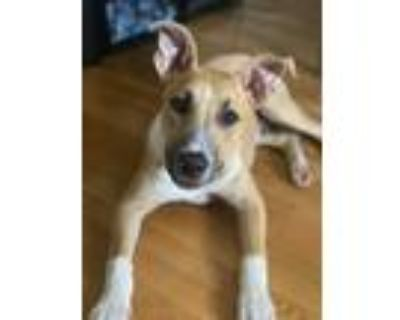 Adopt Eiswein a Tan/Yellow/Fawn - with White Boxer dog in Merrifield