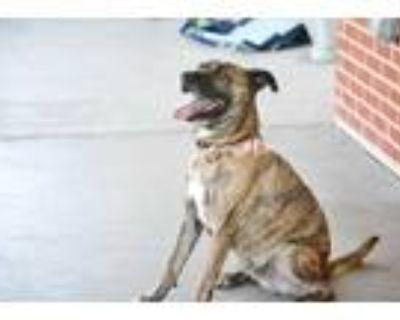Adopt TANK a Brindle Catahoula Leopard Dog / Mixed dog in Grand Prairie