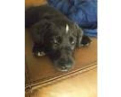 Adopt Tony a Labrador Retriever