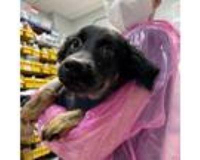 Adopt Ice Cream a Labrador Retriever / Mixed dog in Austin, TX (31892470)