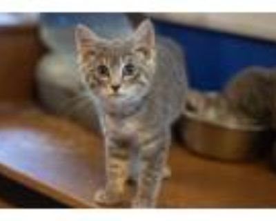 Adopt Greg Sanders a Gray or Blue Domestic Shorthair / Mixed cat in Morgantown