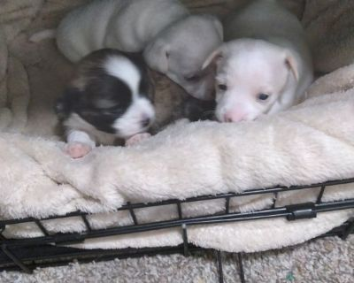 Cortese puppies