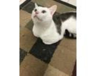 Adopt Calvin a White (Mostly) Bengal / Mixed (short coat) cat in East Elmhurst