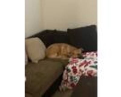 Adopt Gwen a Black - with Tan, Yellow or Fawn Black Mouth Cur / Mixed dog in