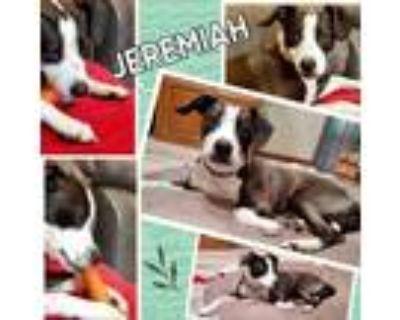 Adopt Jeremiah a Black Whippet / Mixed dog in El Dorado, KS (31371002)