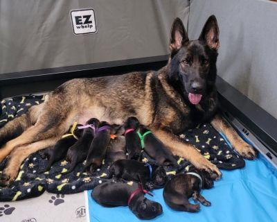 Eastern German Shepherd Puppies (DDR)