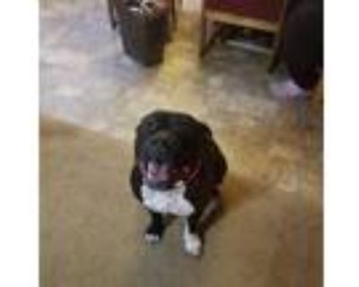 Adopt Oreo a Black - with White American Pit Bull Terrier / Staffordshire Bull