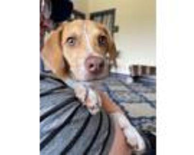Adopt COSTA a Beagle