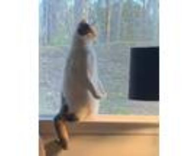 Adopt Cato a Calico or Dilute Calico American Shorthair / Mixed (short coat) cat