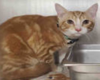Adopt TIMMY a Orange or Red Tabby Domestic Shorthair / Mixed (short coat) cat in