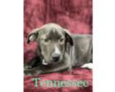 Adopt TENNESSE a Pit Bull Terrier, Mixed Breed