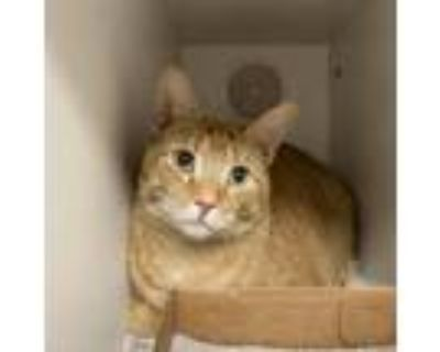 Adopt Big Snickers a Orange or Red Domestic Shorthair / Mixed cat in Blasdell