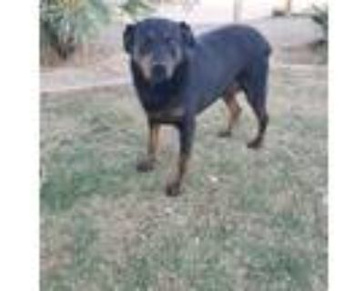 Adopt Lucy a Black - with Brown, Red, Golden, Orange or Chestnut Rottweiler /