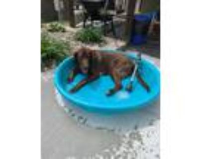Adopt Max a Brown/Chocolate - with White Labrador Retriever / Great Pyrenees /