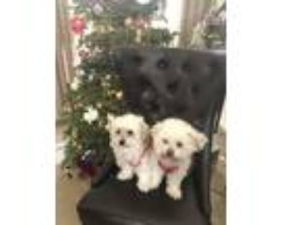 Adopt Po and Lahlah a Tan/Yellow/Fawn - with White Shih Tzu / Poodle (Standard)