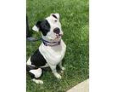 Bella, American Staffordshire Terrier For Adoption In Farmersville, Ohio